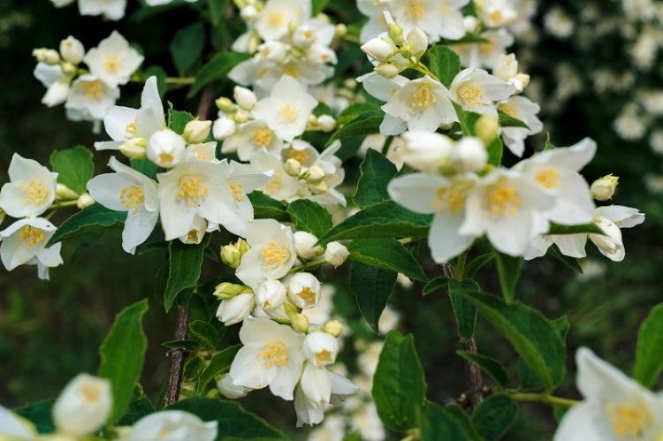 Благоухающие комнатные растения, которые наполнят Ваш дом своим восхитительным ароматом