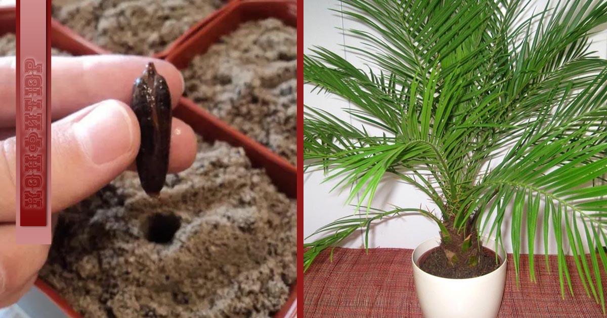как вырастить клен дома